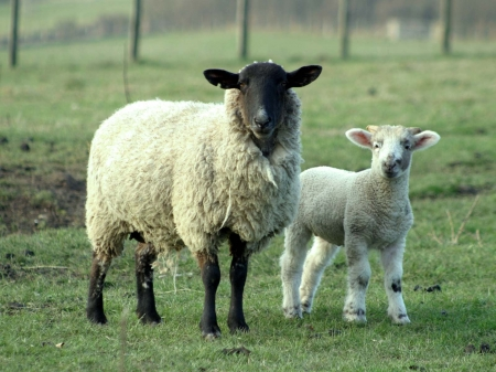 Hi there :) - Animals, Grass, Sheep, Two, Lovely