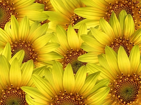 SUNFLOWERS - FLOWERS, NATURE, PETALS, COLORS