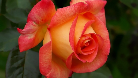 ROSE - NATURE, PETALS, COLORS, LEAVES