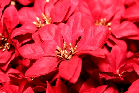 POINSETTIA - FLOWERS, NATURE, PETALS, COLORS