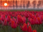 Sunset at the tulips fields