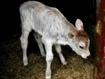 Brown Swiss Calf