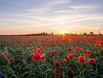Sunset Over the Poppies Field