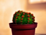 Little green cactus