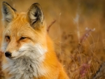 Fox on Firefox