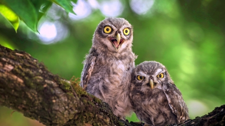 Angry Owls - predators, branch, scowl, angry, owls, tree, birds, mad, Firefox Persona theme, cranky