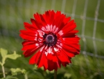 RED ANEOMONE FLOWER