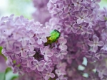 LILACS WITH GREEN BEETLE