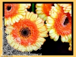 YELLOW ORANGE GERBERA