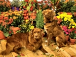 Duck Tollers - Dogs