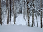 Birch Tree Forest Winter Snow Path