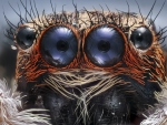 The Eyes of a Jumping Spider