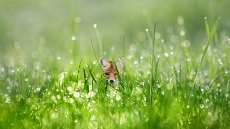 Baby Fox and Dew Drops - drops, kit, baby fox, fox, field, dew drops, dew, water drops, morning, grass, green, morning dew