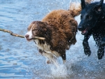 Two running dogs
