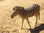 And yes.... it's still a zebra