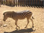 Zebra is walking!