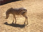 Zebra tries to escape from photoshoot