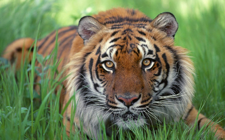 Beautiful And Majestic TIGER - Cats & Animals Background ...