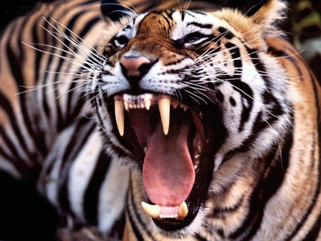 Tiger - tongue, tiger, teeth, cat