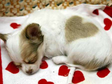 Puppy Love 2 - dog, puppy, chihuahua, love heart