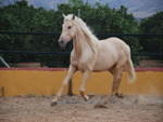 Oktober, The Palomino Andalusian