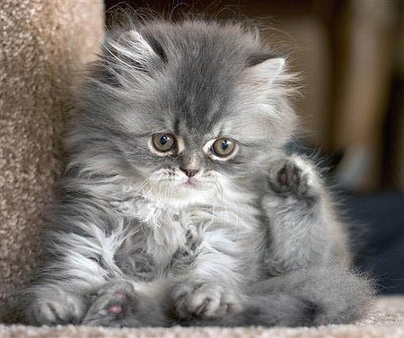 Persian Baby - kittens, photography, animals, cats
