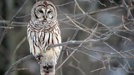 Barred Owl - animals, owls, tree, branch, hoot owl, wallpapers, Entropy, white, 1080p, barred owl, man eight hooter, striped owl, brown, rain owl, 1080i, strix varia, wood owl, birds, 1920 x 1080, nature, large typical owl