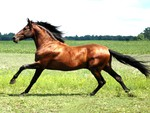 Hispano-Arabe Horse