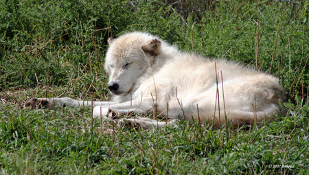 sleeping wolf - animals, wolves, wolf, mammals