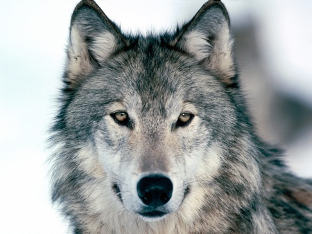 pretty wolf - animals, wolves, wolf, mammals