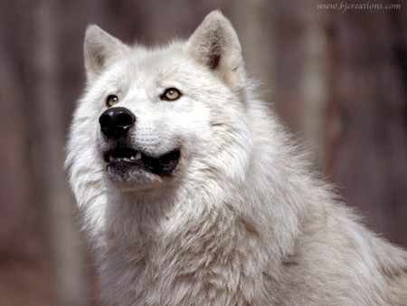 Wolf grin - mammals, animals, wolves, animal, wolf, mammal