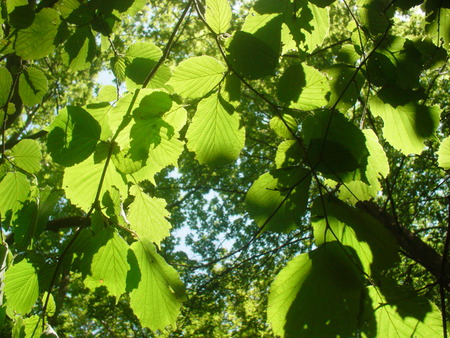 Leaves - leaves, light, green, trees