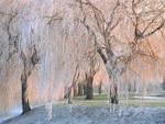 Frosted weeping willow / Trauerweide vereist