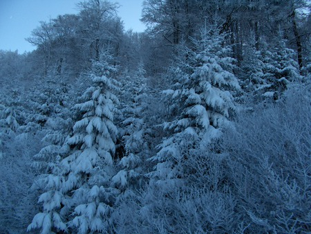 Frosted pines - pine, winter