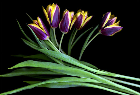 purple and yellow tulips  flowers  nature background wallpapers, Beautiful flower