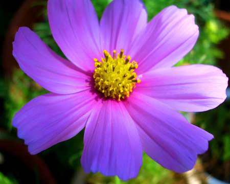 bright purple daisy  flowers  nature background wallpapers on, Beautiful flower
