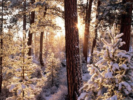Ponderosa starburst, Fremont National Forest, Oregon - snowy trees, oregon, sunlight, forest, winter