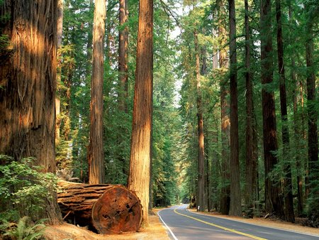 California Redwood Forest - trees, redwoods, highway, ancient, humboldt, roads, light, places, forest, nature, california