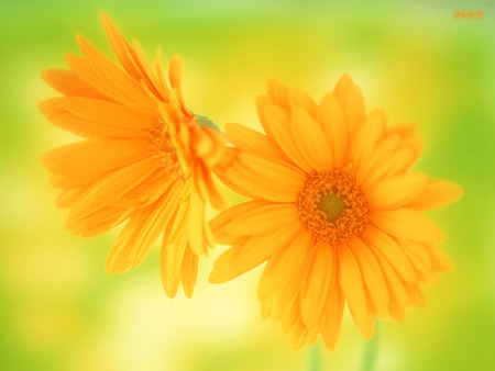 2 Yellow Flowers - rose, flowers, colorful flower, colorful flowers, colors, color, mna, flower, nature