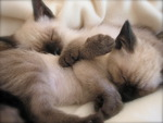Two sleeping siamese kittens