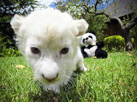 Lilly - animals, lions, cats, white, cub