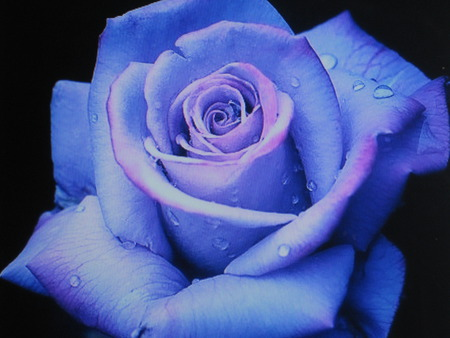 Enchanted Rose - rose, lavender, beautiful, mystical, magical