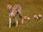 Cheeta Family