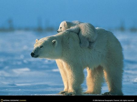 Polar bear carrying baby - bear, cold, snow, aww so cute, polar bears