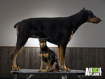 Big Doberman, Little Doberman