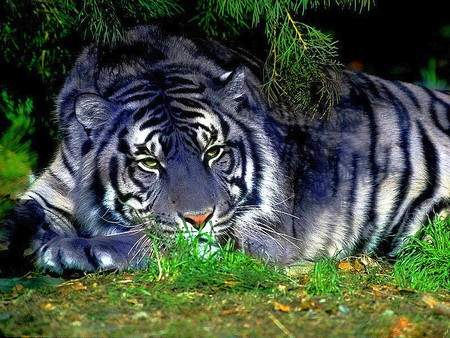 Blue Tiger - blue, cool, tiger, picture
