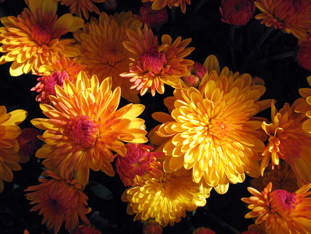 Beautiful Mums - flowers, beautiful, black, mums, yellow