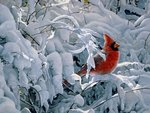 Winter with Cardinal