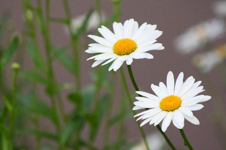white daisies  flowers  nature background wallpapers on desktop, Beautiful flower