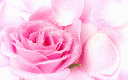 Lovely Rose - rose, flowers, pink rose, petals, beautiful, pink, pretty, drops, lovely, romantic, nice, roses, nature